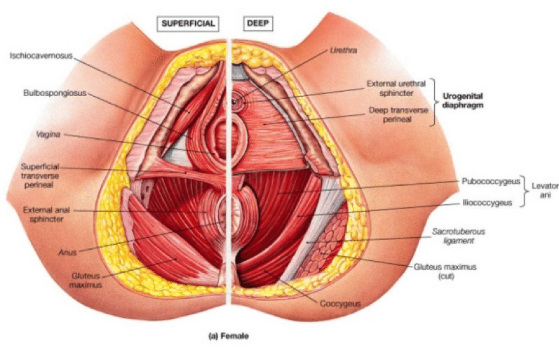 Pelvic Muscles (Female)